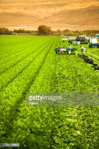 Farm Workers Harvesting A Celery Crop On Fertile