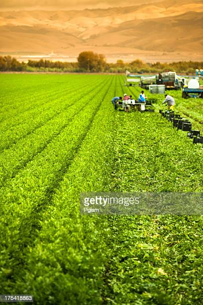 Farm workers harvesting a celery crop on fertile agriculture land
