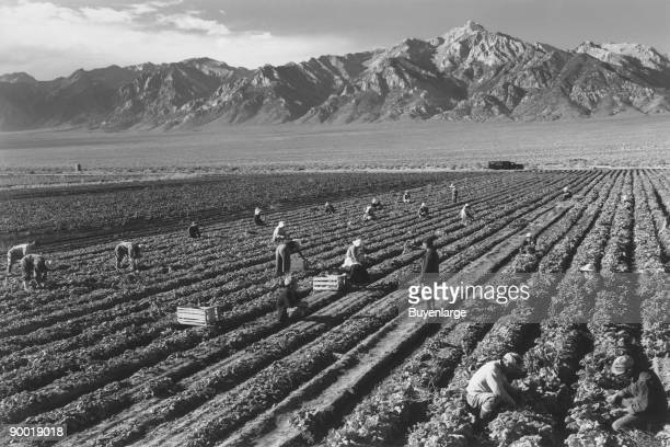 Farm workers harvesting crops in field mountains in the background Ansel Easton Adams was an American photographer best known for his blackandwhite...