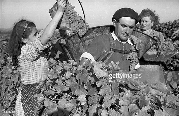 Farm workers harvesting grapes for Cognac on a Charente vineyard France Original Publication Picture Post 4702 Spirit Of Christmas pub 1948
