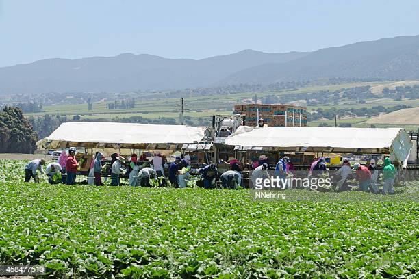 農場の収穫作業ロメインレタス、カリフォルニア州 - farm workers california ストックフォトと画像