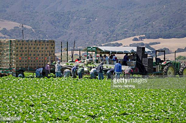 Farm workers harvesting romaine lettuce Lettuce is harvested and packaged in the field Salinas Valley California USA