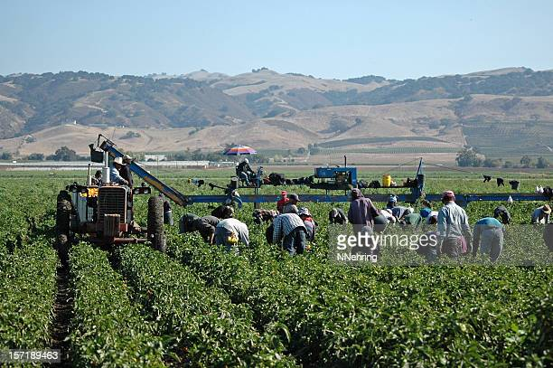 farm workers harvesting yellow peppers in california - farm worker stock pictures, royalty-free photos & images
