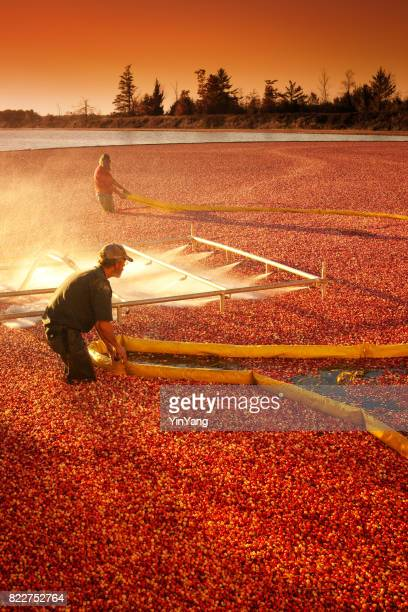 farm workers in cranberry bog harvesting the marsh field in wisconsin, usa - cranberry harvest stock pictures, royalty-free photos & images