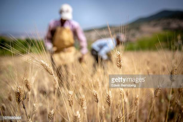 farm workers in wheat field - grain harvest stock pictures, royalty-free photos & images