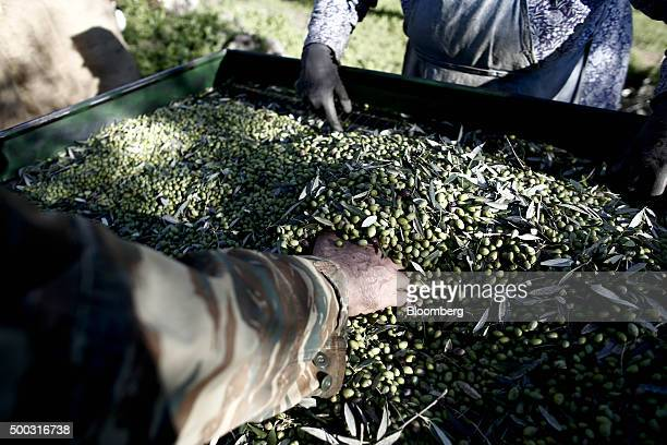 Farm workers inspect a crop of freshly picked olives during the harvest on farmland in the Kalamata district village of Kardamyli Greece on Sunday...