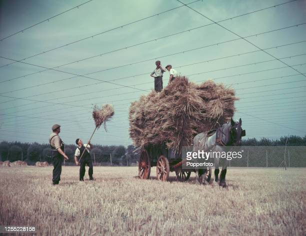 Farm workers load a horse drawn cart with hay during a haymaking harvest at Whitbreads hop fields near Maidstone in Kent England in September 1955