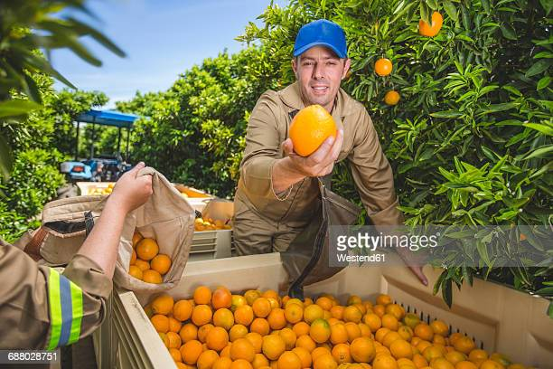 Farm workers on plantation plucking oranges, holding one into camera