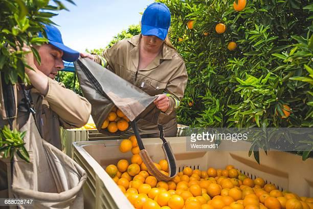 farm workers on plantation plucking oranges - orange farm fotografías e imágenes de stock