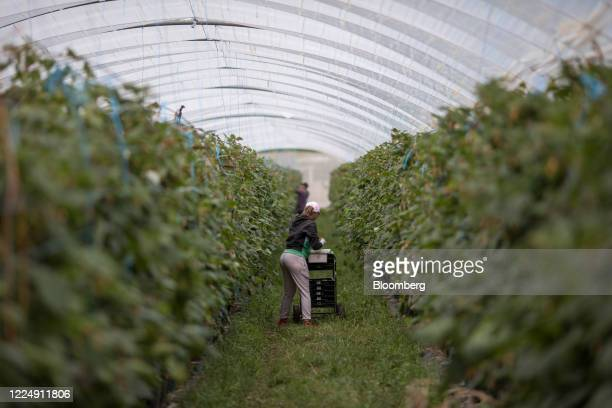 Farm workers pick raspberries in poly tunnels at a farm in Milford, Surrey, U.K. On Monday, July. 6, 2020. Photographer: Jason Alden/Bloomberg via...