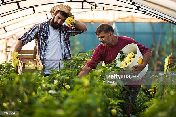 Farm workers picking bell pepper in a greenhouse.