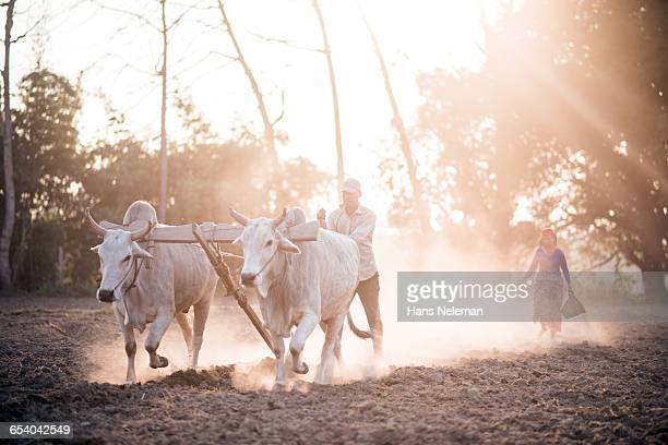 farm workers plowing with buffalo in nepal - wild cattle stock photos and pictures