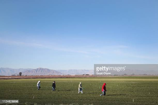 Farm workers pull weeds in a field of organic spinach growing near the USMexico border on January 25 2019 near El Centro California The US government...