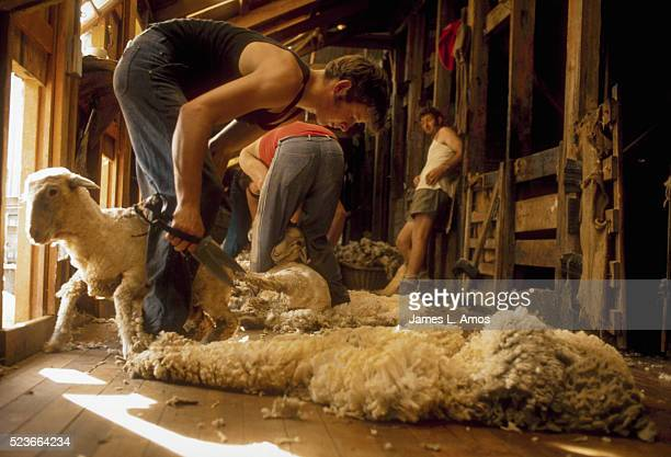 Farm Workers Shear Sheep