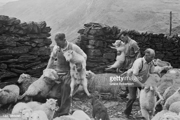 Farm workers shearing sheep in Snowdonia, northwestern Wales, 1951. Shearing can only be done during dry spells as it is not possible to cut a wet...
