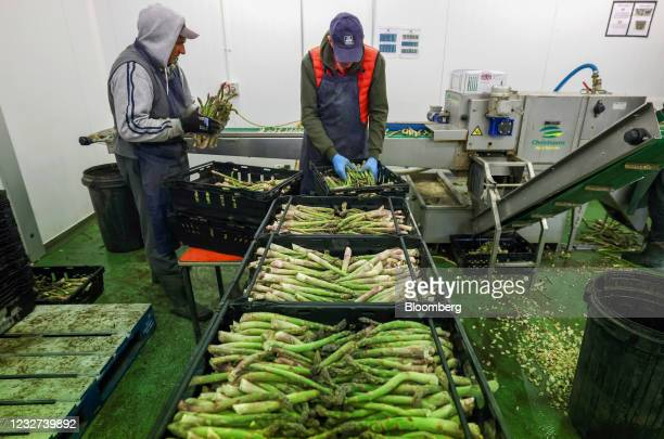 Farm workers sort through freshly cut asparagus in a packing room at a farm in Minster near Ramsgate, U.K, on Thursday, May 6, 2021. Migrant workers...