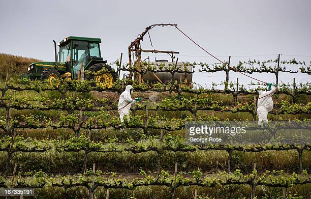 Farm workers spray sulphur on a grape vineyard to prevent mildew on April 4 near Gonzales California The Salinas Valley backdrop for several John...