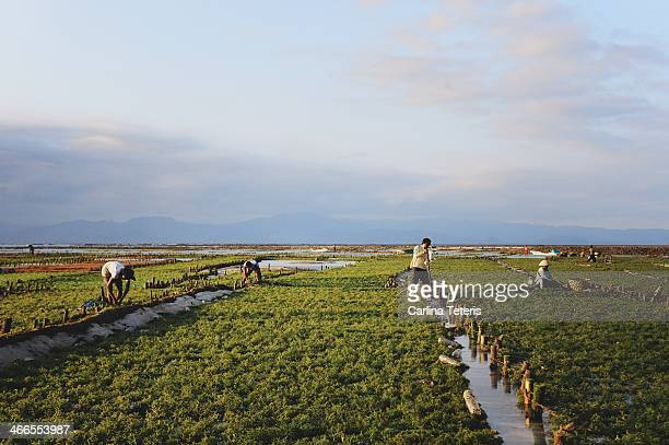 CONTENT] Farm workers tend to their fields making repairs to the network of stakes and ropes that their seaweed grows on At high tide the...