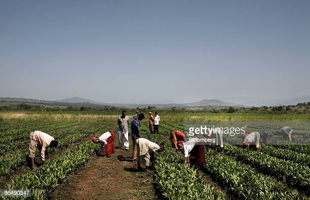 Farm workers tend young plants at the palm oil plantation owned by Karuturi Global Ltd near the town of Bako in Ethiopia Africa on Friday Oct 16 2009...