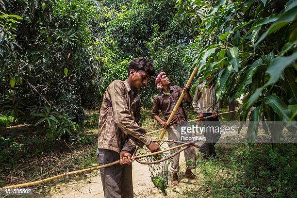 Farm workers use bamboo poles to pick Dusehri mangoes at an orchard in Malihabad Uttar Pradesh India on Saturday June 28 2014 Indian Prime Minister...