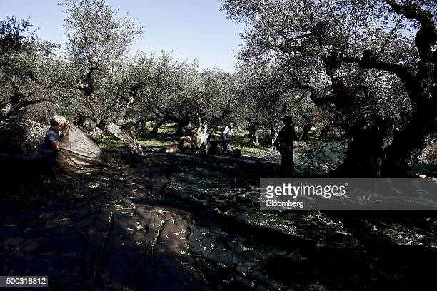 Farm workers use sheets to collect olives during the harvest on farmland in the Kalamata district village of Kardamyli Greece on Sunday Dec 6 2015...