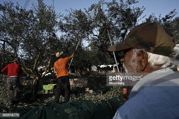 Farm workers use tools to shake olives from the branches of olive trees during the harvest on farmland in the Kalamata district village of Kardamyli...