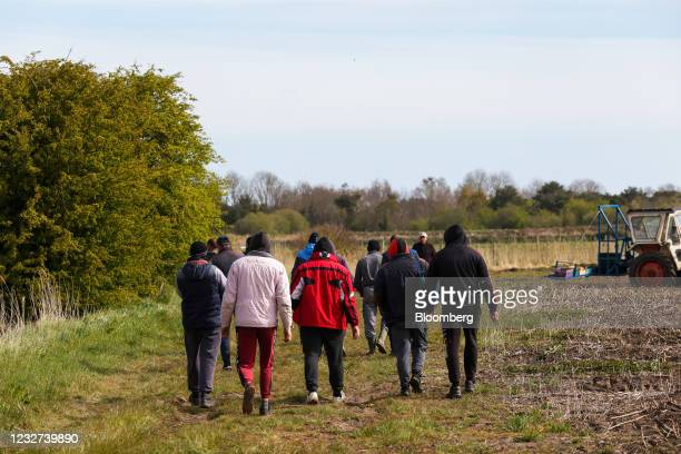 Farm workers walk beside a field on a break from cutting asparagus at a farm near Sandwich, U.K, on Thursday, May 6, 2021. Migrant workers have left...