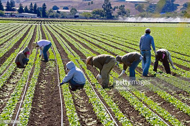 farm workers weeding spinach in california - farm worker stock pictures, royalty-free photos & images
