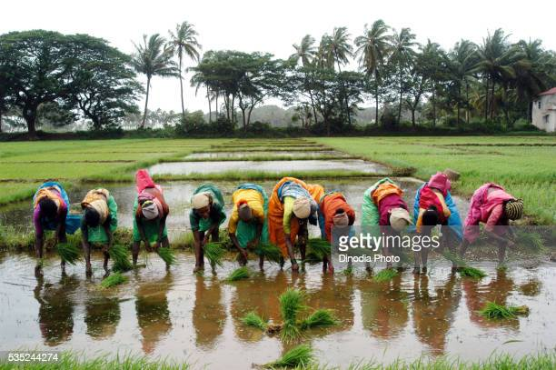 Farm workers working in the rice fields in Goa, India.