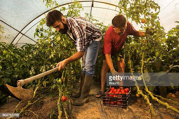 Farm workers working together in a polyethylene tunnel.