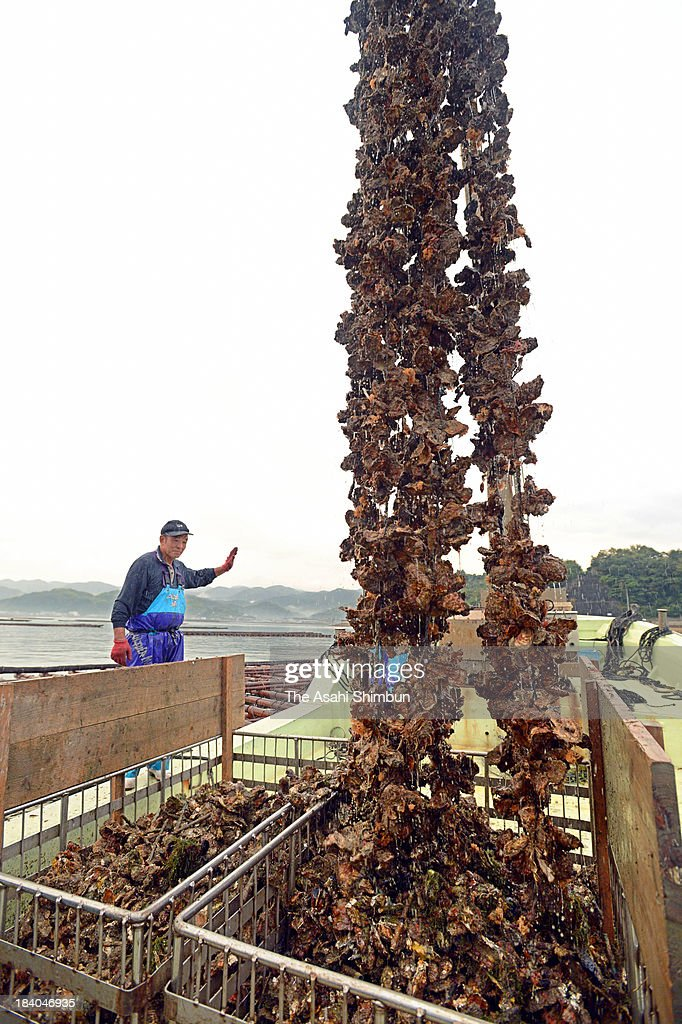 Farmed oyster is unloaded on October 11, 2013 in Hiroshinma, Japan. Hiroshima Prefecture dominates 60 percent market share of oyster farming in Japan.