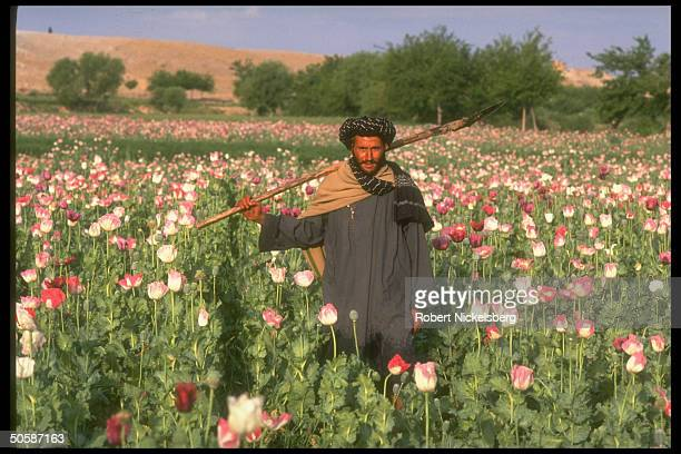Farmer amidst his flowering poppy plants, part of expected record 800 ton harvest for opium production.