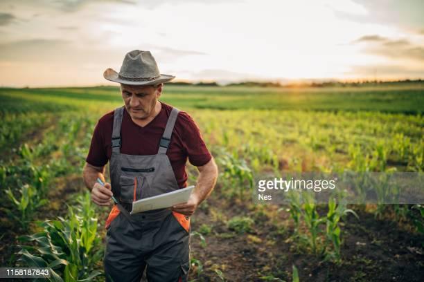 agricultor analiza maíz en el campo - campesino fotografías e imágenes de stock