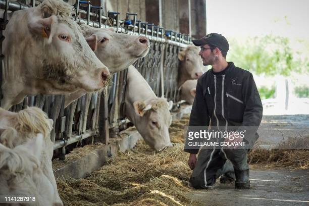 Farmer and breeder of Charolais cows, Alban, watches his cows in their cowshed at his farm on April 26, 2019 in La Jauniere near Chiche, Western...