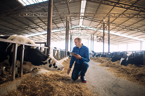 Farmer and cows at dairy farm. Cattleman holding tablet and observing domestic animals for milk production. 1186872637