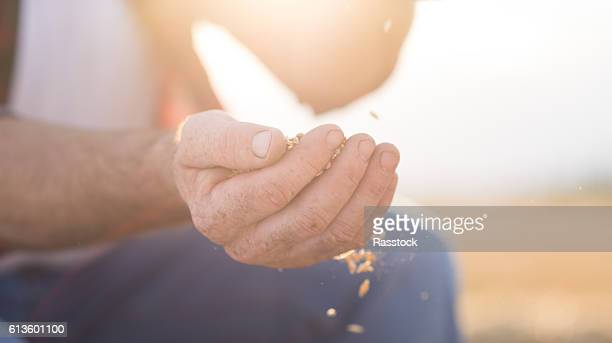 farmer and harvest. closeup of hands with wheat - wheat harvest stock pictures, royalty-free photos & images