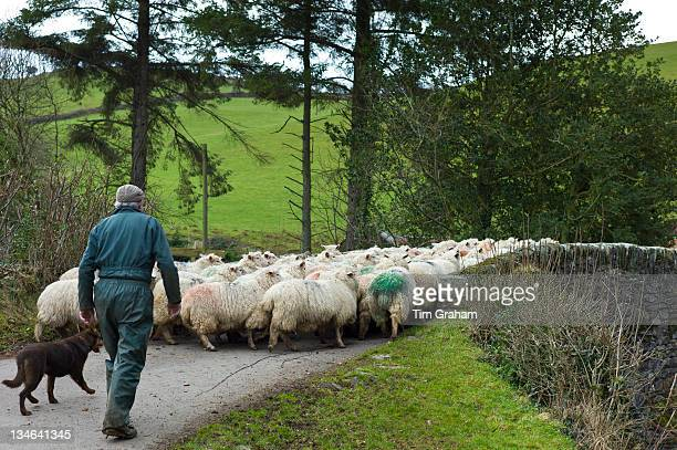 Farmer and sheep dog drive flock of sheep in the Doone Valley Exmoor in North Devon UK