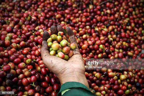 Farmer are choosing coffee during the production of Civet coffee the world's most expensive coffee in Bondowoso on August 11 2009 in East Java near...