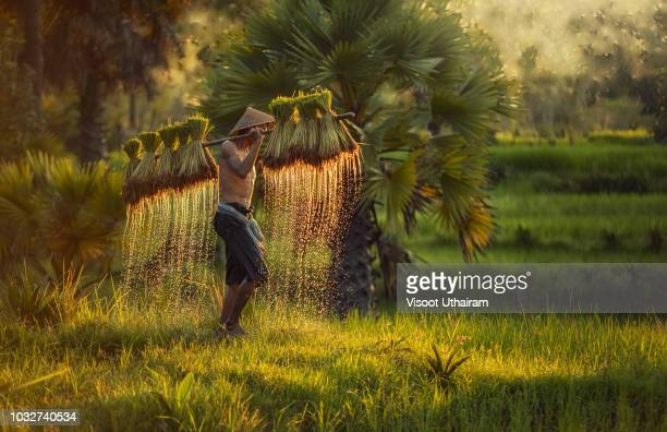 farmer are planting rice in the fields against spring green background. - cultures stock pictures, royalty-free photos & images