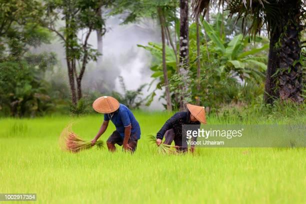 Farmer are planting rice in the rainy season.