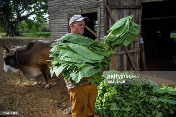 A farmer arrives with tobacco leaves at the drying barn of a tobacco plantation in San Juan y Martinez Pinar del Rio Province Cuba on February 24...