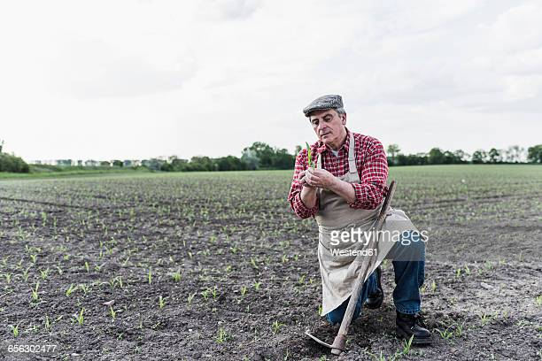 Farmer at a field examining crop