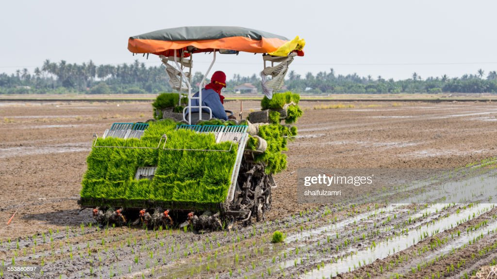 Farmer at paddy fields : Stock Photo
