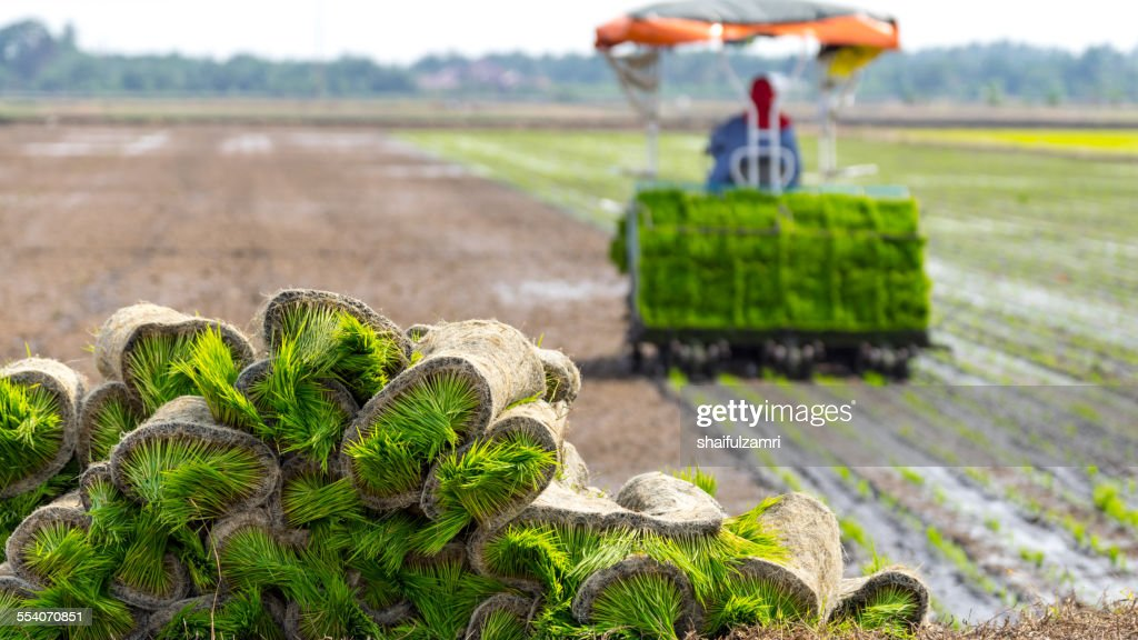 Farmer at paddy fields : Stock Photo
