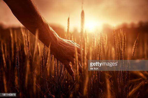 farmer at sunset - wheat grain stock photos and pictures