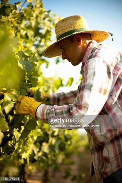 Farmer at work in vineyard