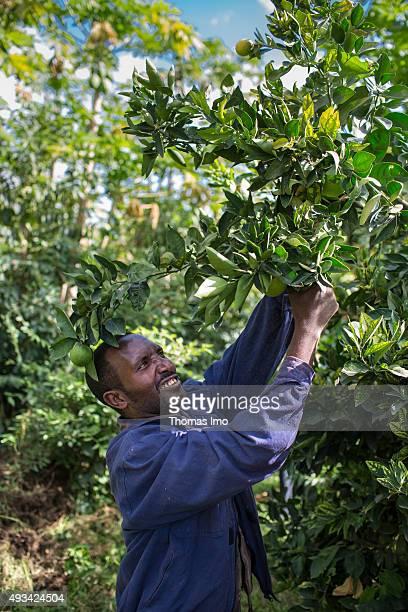 Farmer Berhanu Hiluf harvests Papayas on October 13 2015 in Mahoni Ethiopia