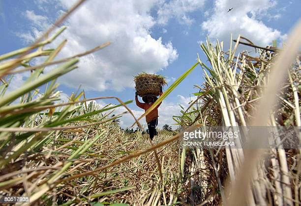 Farmer carries a basket through her paddy field in Tabanan on April 4, 2008. Indonesian rice farmers in Java and Bali must invest in hardier crops...