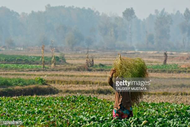 Farmer carries a bunch of grass at a vegetable field on the outskirts of Srinagar on October 27, 2020.