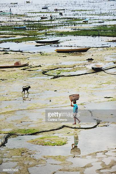 Farmer carries an empty basket on their head to collect fresh harvested seaweed from a farm on muddy tidal flats between Nusa Ceningan and Nusa...